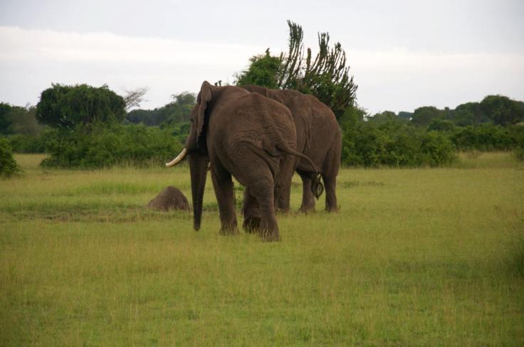 Elephants In Mweya
