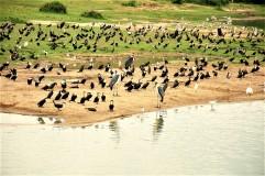 Kazinga boat birds